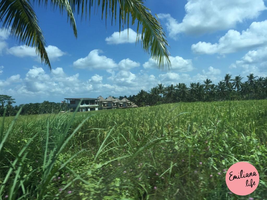 73 plantacao de arroz
