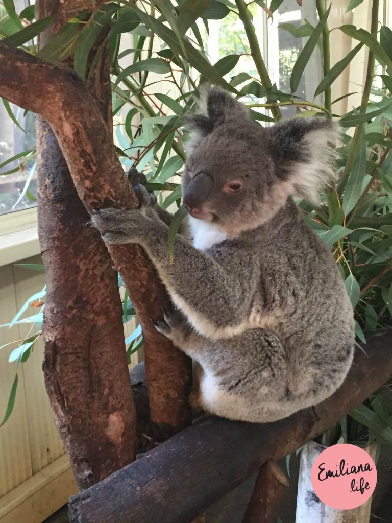 02 koala perto